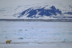 The kingdom of polar bear (roberto parmiggiani) Tags: artico arctic bear svalbard ice polar orso ghiaccio