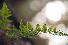 (Ir3nicus) Tags: ausen bokeh demaasduinen farn grün nahaufnahme natur niederlande nikonnikkor135mm128ai pflanze outdoor fern green closeup nature netherlands plant nikon d700 dslr fx fullframe