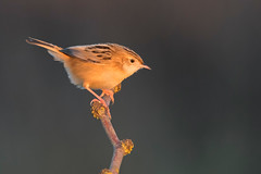 zitting cisticola (leonardo manetti) Tags: uccello bird nature sunset red winter colours naturephotography field natural nikkor countryside green zitting cisticola macro albero animale nikon d850