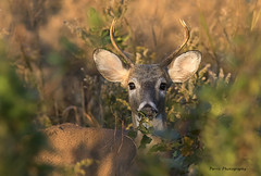 Four Pointer (Parris Photography) Tags: wildlife whitetaildeer buck bombayhook delaware parrisphotography