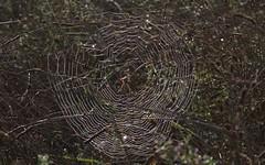 Argiope frelon - IMG_8569 (6franc6) Tags: araignée occitanie languedoc gard 30 petite camargue septembre 2018 6franc6 vélo kalkoff vae