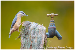 Nuthatch & Garden Tap (www.andystuthridgenatureimages.co.uk) Tags: nuthatch garden woodland tap post lichen perch perched looking feeding food canon 5dmk1v