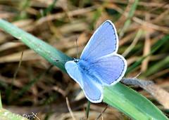 Azuré bleu céleste_03 (Jean-Daniel David) Tags: insecte insectevolant papillon azuré azurébleucéleste bleu vert bokeh herbe pelouse grosplan closeup macro cossonay suisse suisseromande vaud