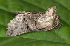 Abrostola (chug14) Tags: macro insecte papillon moth unlimitedphotos nature naturephotography animalia arthropoda hexapoda insecta lepidoptera noctuidae plusiinae abrostolini abrostola