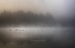 In The Misty Morning (jeanmarie's photography) Tags: cottagelake canadageese geese fog foggy mist morning moody minimalistic reflection trees tamron nature nikon nikond810 fall autumn waterscape water light landscape