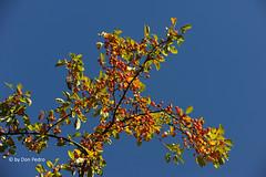 stralende herfstkleuren (Don Pedro de Carrion de los Condes !) Tags: donpedro d700 herfst herfstkleuren briljant hemel blauw boom metbessen kleurig zonnig intens