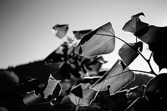 Leaves (Chiaro Chiari) Tags: leaves foglie bn monocromo blackwhite bw bianco nero nature natura autumn autunno stagioni seasons sun sole sky cielo