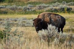 Bleary Eyed (randall321321) Tags: bison dakota d3400