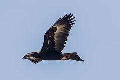 Wedge-tailed eagle (crispiks) Tags: wedgetailed eagle ettamogah new south wales albury nikon d500 70200 f28 birds prey birdlife