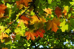 Maple Leaves (eric robb niven) Tags: ericrobbniven scotland maple leaves autumn colours springwatch dundee