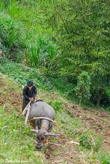 -c20180916-810_0032 (Erik Christensen242) Tags: đồngvăn hàgiang vietnam vn qtay farmer buffalo plowing color thebiggestgroupwithallkindofanimals