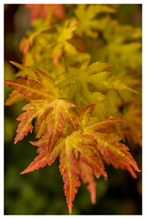 """Acer Japonicum Vitifolium - Perhaps the most glorious small tree for autumn colour. (R ERTUG) Tags: acerjaponicumvitifolium acer nikond610fx nikon60mmf28 rertug """"nikonflickraward"""" ertug naturewatcher"""