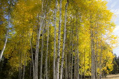 Fall in Oregon. Glowing yellow aspens (Bonnie Moreland (free images)) Tags: fall autumn leaves color change foliage trees aspens oregon bark