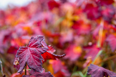Red leaf (nordanheidar) Tags: iceland akureyri bush plants leaf autumn red nature