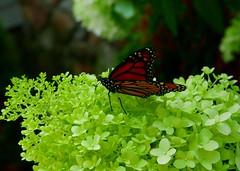 monarch (ekelly80) Tags: michigan mackinacisland august2018 summer upnorth puremichigan butterfly monarch green garden pretty