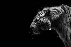 Une touche de bokeh (Scholt's) Tags: tiger tigre animal nikon d7000 noir black white blanc monochrome zoo france beauval zoobeauval bigcat bokeh