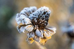Phrosty Phall Phlower (TCeMedia/Telecide) Tags: flower fall nature frost minnesota circle pines