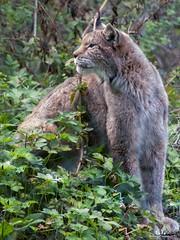 Civitella Alfedena: Lince / Lynx (Abulafia82) Tags: pentax pentaxk5 k5 ricoh ricohimaging pentaxq7 q pnalm parconazionaledabruzzolazioemolise animali animals deerreddeer sebastian alphio lince lynx lupo wolf fauna natura nature