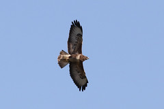 Buzzard (cropped) (roger_forster) Tags: buzzard buteobuteo mottisfont nationaltrust hampshire romsey timsbury wild bird hiwwt