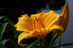 ABG_181103_11 (alfrd p) Tags: nature flora flower plant macro adelaidebotanic garden captureone lily