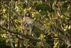 evening hunt (Christian Hunold) Tags: redtailedhawk buteojamaicensis rotschwanzbussard birdofprey raptor hawk johnheinznwr philadelphia christianhunold