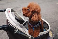 Mom: See ahead!(TAIPEI TAIWAN) (Wan.L) Tags: リコー 家族 犬 プードル 台湾 紅貴賓 貴賓 台北 台灣 photo grii ricoh brown poodle sister family puppy dog doggy baby taipei taiwan