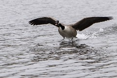 Here I come (neilsmith27) Tags: canon80d nature attenborough flying landing geese