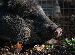 365-2018-272 - Peccary in the sun (adriandwalmsley) Tags: peccary