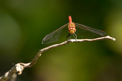 (Jérôme_M) Tags: canon eos 600d sigma proxy bokeh insecte libellule aquitaine landes seignanx saintmartindeseignanx natgeo natimages lemondedelaphoto wildlife