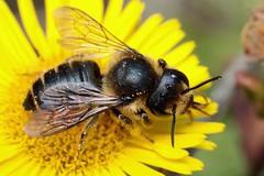 Megachile centuncularis f - 17 IX 2018 (el.gritche) Tags: hymenoptera france 40 garden megachilidae megachilecentuncularis female asteraceae pulicariadysenterica