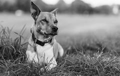 Semper Fidelis... (st.weber71) Tags: nikon nrw niederrhein natur hunde hundefotografie tiere animals blackandwhite schwarzweis wiesen felder tierliebe sigma deutschland germany d850 liebe