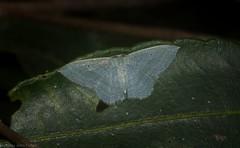 Poecilasthena thalassias (dustaway) Tags: arthropoda insecta lepidoptera geometridae mounttamborine tamborinemountain sequeensland queensland australia nature australianinsects australianmoths larentiinae poecilasthenathalassias
