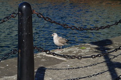 30K00946a_C (Kernowfile) Tags: liverpool canningdock gull bird post chains water shadows merseyside