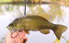smallmouth bass along Upper Iowa River near Lime Springs IA 653A2626 (lreis_naturalist) Tags: smallmouth bass upper iowa river lime springs howard county catch release larry reis