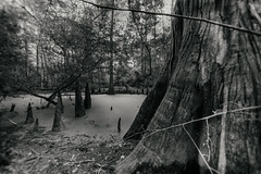 (o texano) Tags: houston texas nature baldcypress swamp bog forest landscape