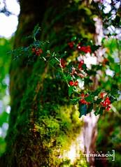 Berries - 29 (oterrason) Tags: leaves tree berries redongreen shallow moss fujinon fujifilm fuji film fujinon5cmf12 ltm m39 xpro2 pop trunk flowers huckleberry vintagelens classiclens adaptedlens nature park