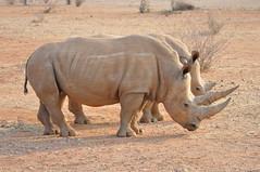 DSC_0023 (j1mdevl1n) Tags: namibia lapalangegamelodge mariental whiterhinoceros