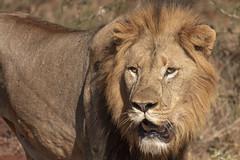 Lion - Zimanga - South-Africa (wietsej) Tags: lion zimanga southafrica sony rx10 iv rx10m4 nature cat animal africa safari coth coth5