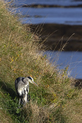 Heron (RagbagPhotography) Tags: standrews fife scotland cathedral harbour