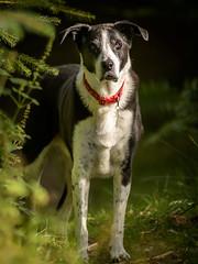 Zac waiting patiently in Birnam Wood (grahamrobb888) Tags: zac dog pet animal canine birnamwood birnam perthshire scotland sunny sunnymorning forest woods d500 nikon nikond500 nikkor afnikkor80200mm128ed monopod