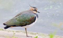 Lapwing (Vanellus vanellus) - Taken at Pitsford reservoir, Holcot, Northants. UK (Ian J Hicks) Tags: