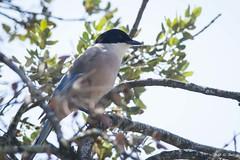 DSC_5819 (P2 New) Tags: 2018 animaux corvidae date espagne extremadura mai oiseaux passériformes pays piebleue
