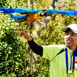 Blue-and-yellow Macaw, Ai and Bird Master Girl at Yokohama Zoological Gardens : ルリコンゴウインコのアイバードショーのお姉さん(よこはま動物園ズーラシア) thumbnail