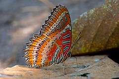 Cethosia biblis - the Red Lacewing (BugsAlive) Tags: butterfly mariposa papillon farfalla schmetterling 蝴蝶 бабочка conbướm ผีเสื้อ animal outdoor insects insect lepidoptera macro nature nymphalidae cethosiabiblis redlacewing heliconiinae wildlife doisutheppuinp chiangmai liveinsects thailand thailandbutterflies ผีเสื้อกะทกรกแดง