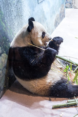 180324 Washington-36.jpg (Bruce Batten) Tags: animals businessresearchtrips locations mammals nationalzoologicalpark occasions shadows subjects trips usa vertebrates washingtondc zoos