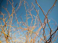 Thorny Sky. (Prabhu B Doss) Tags: prabhubdoss gfx50s fujifilm gf3264mm thorn bbush bush usilampatti travelphotography abstract tamilnadu sky