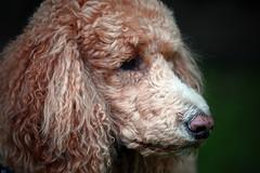 sad poodle (Micro_Op) Tags: poodle dog dogs nikon nikkor tamron fall canada ontatio