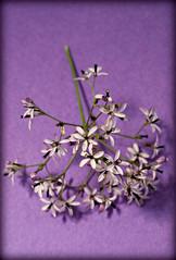 2018 Sydney: Purple Jasmine (dominotic) Tags: 2018 flower spring purplejasmine sydney australia