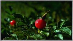 Red, Green, Light & Dark (Bob's Digital Eye) Tags: bobsdigitaleye canon dark depthoffield efs1855mmf3556isii flicker flickr foliage framed garden macro october2018 red rosehip seedpod softfocus t3i bokeh