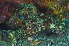 Octo7Oct5-18 (divindk) Tags: anacapa anacapaisland camouflage channelislands channelislandsnationalpark octopus octopusbimaculoides sanmiguelisland santabarbara santacruzisland santarosaisland underwater ventura bimacoctopus diverdoug marine ocean octo reef sea tentacles twospotoctopus underwaterphotography